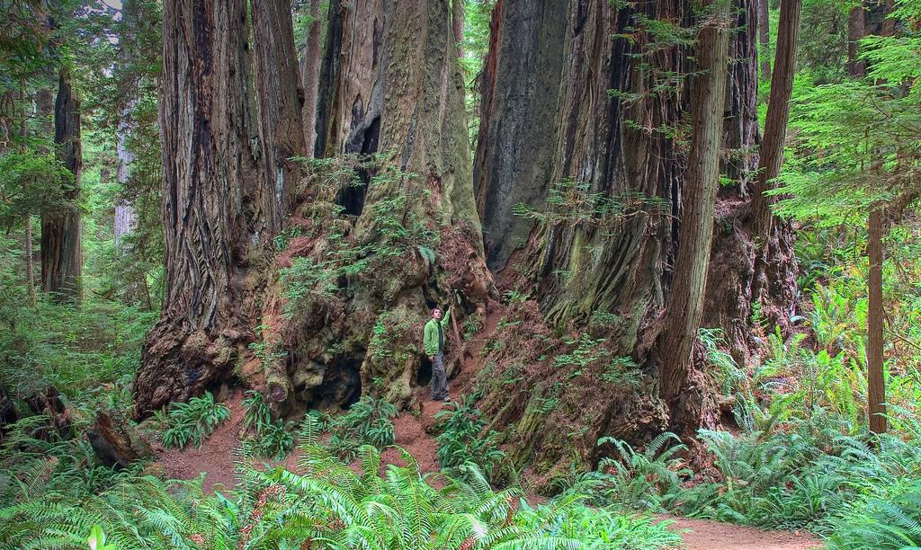 558 10 высочайших деревьев планеты