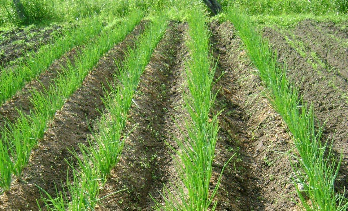 Картинки по запросу выращивание лука на гребне