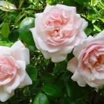 """Роза """"New Dawn"""""""