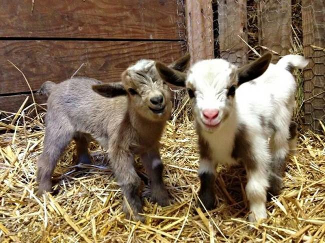 Две козы с радостью фотографируются животные, коты, юмор