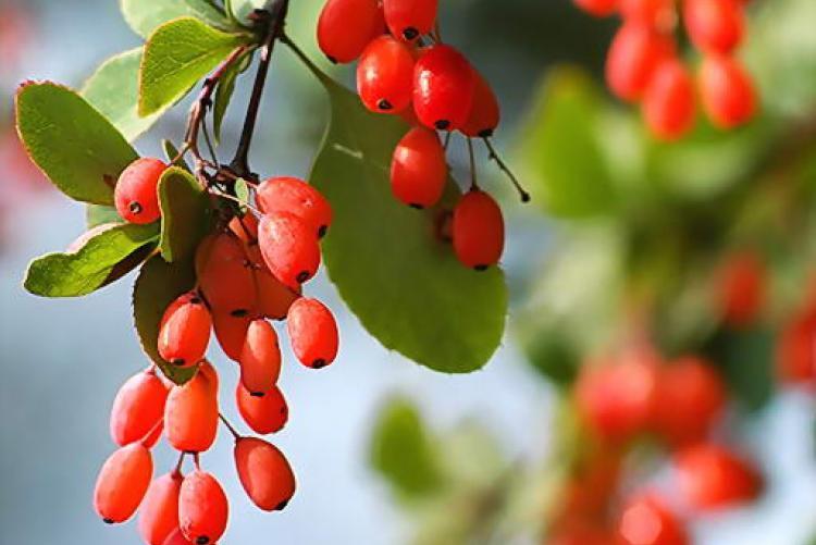 Лечебные свойства ягод барбариса
