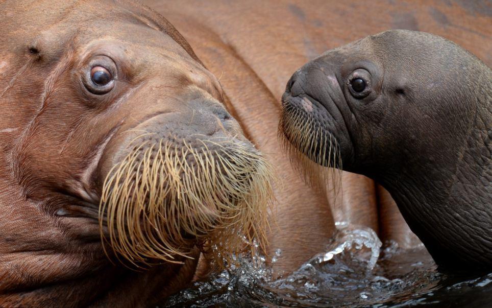 В немецком зоопарке представили детеныша моржа