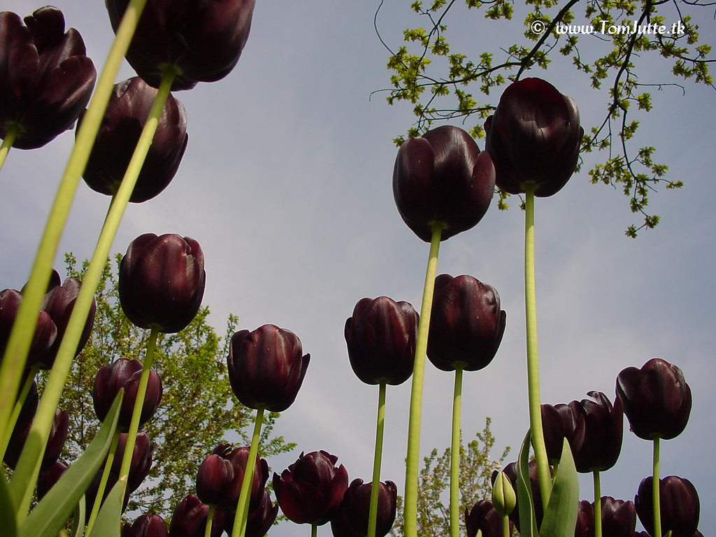 NewPix.ru - Черный тюльпан