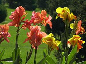 Купить в донецке цветы канны купить розы в арамашево свердловской