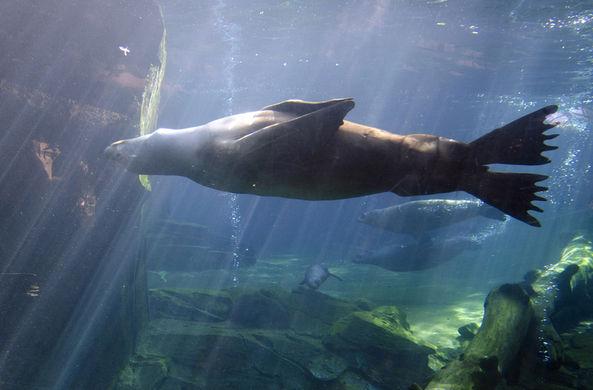 Ученые выяснили, почему морские котики спят с открытым глазом