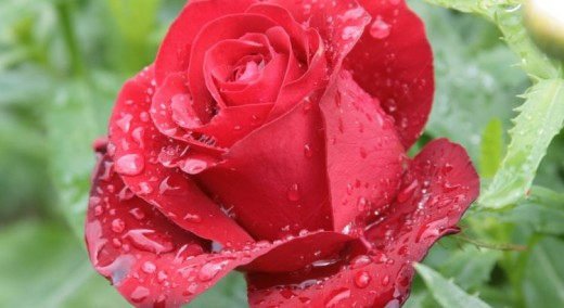 Простое средство для здоровья роз. Это интересно