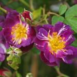 """Роза """"Veilchenblau"""" цветок"""