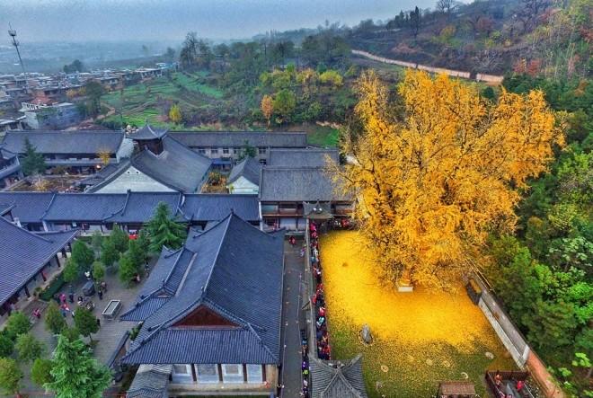 Золотое дерево гинкго | Мир …