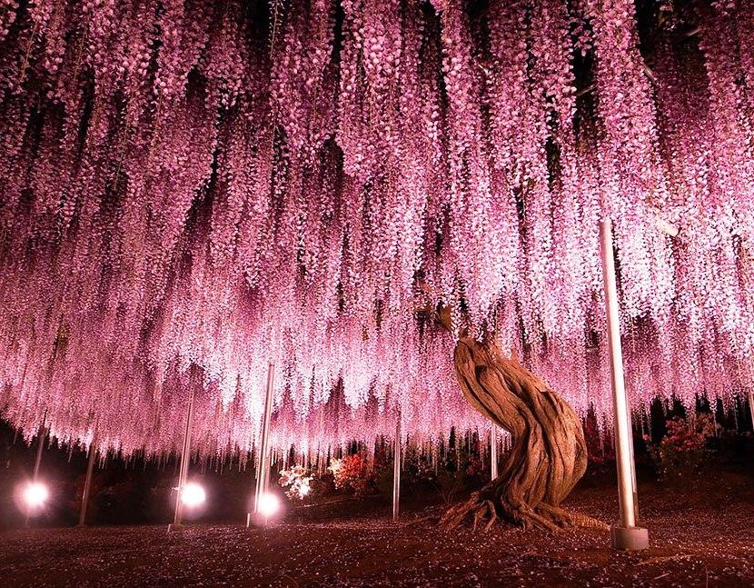 Это – крупнейшая глициния в Японии. Ей 150 лет! Просто неземная красота!