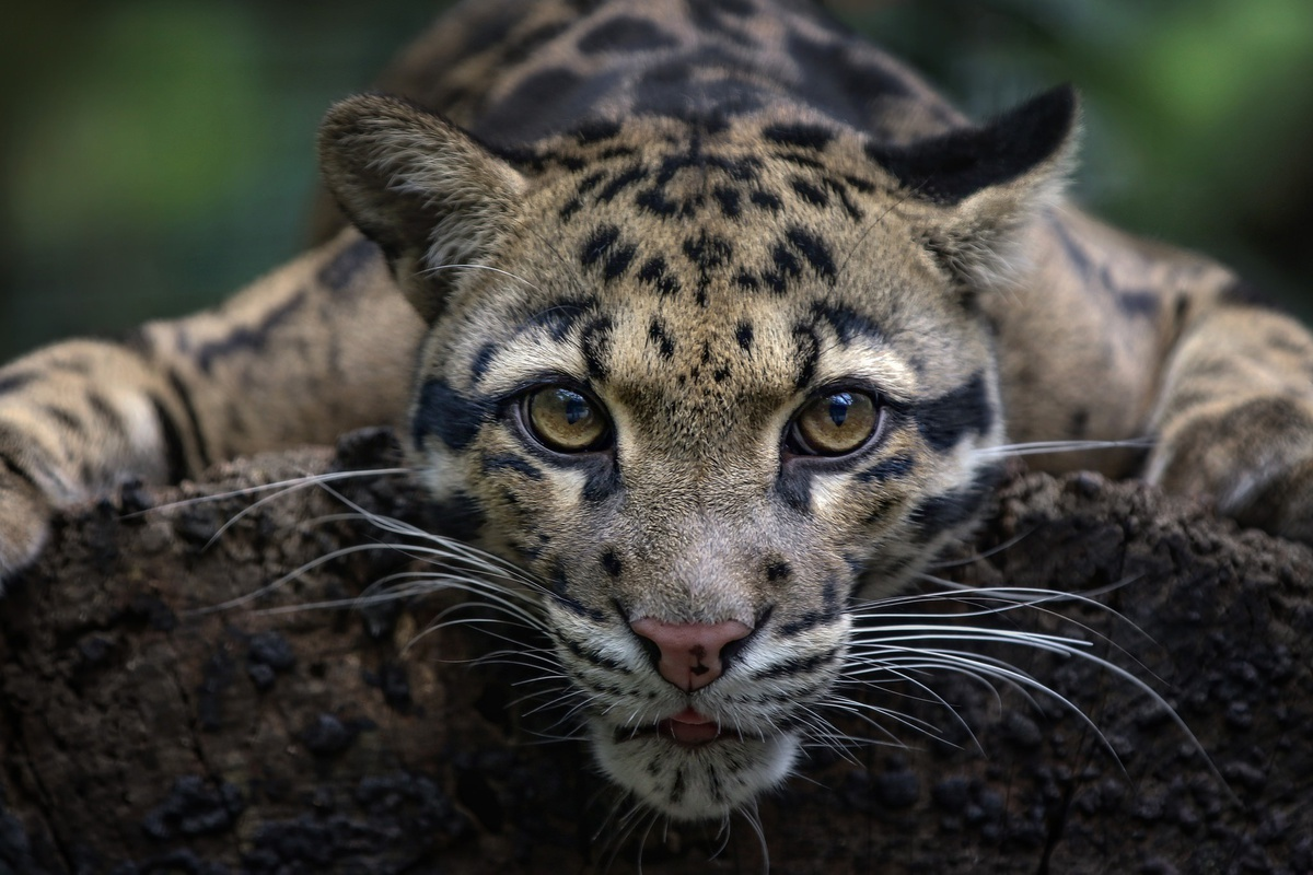 На Тайване заметили леопарда, которого давно считали вымершим видом