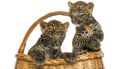 В Москве поймали двух леопар…