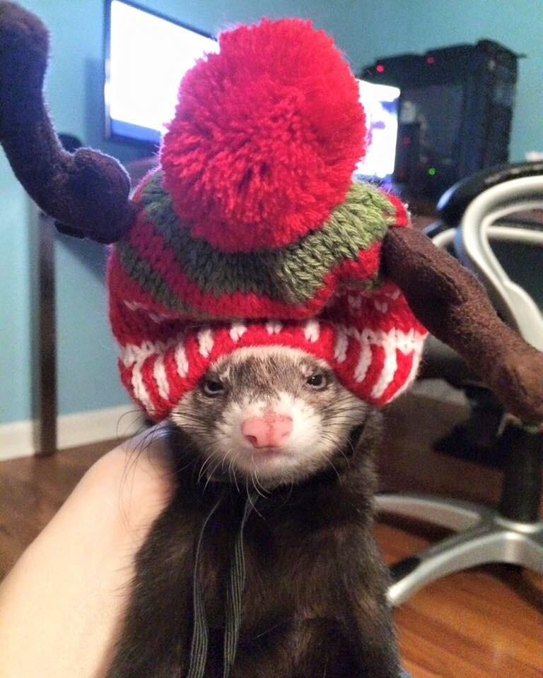 Хорек в шапке животные, кадр, люди, фото, фотоподборка