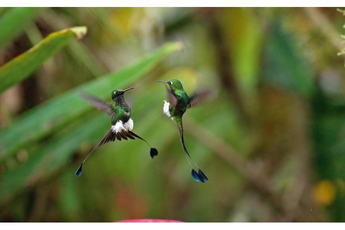Колибри-ракетохвосты мохноногие демонстрируют друг другу хвосты и белые «панталоны». Схватка между самцами может продолжаться и на земле