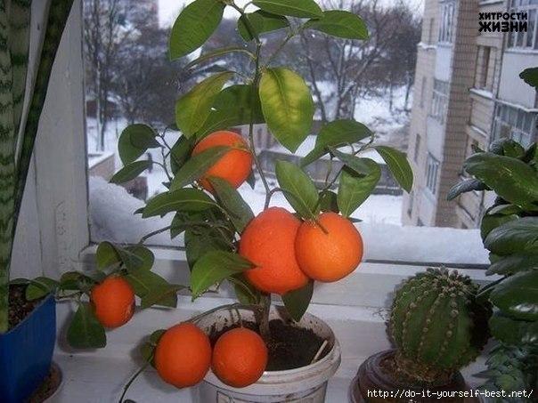 Как вырастить мандарин из косточки в домашних условиях. Инструкция