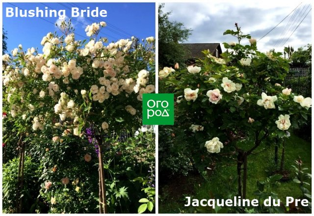 штамбовые розы Blushing Bride и Jacqueline du Pre