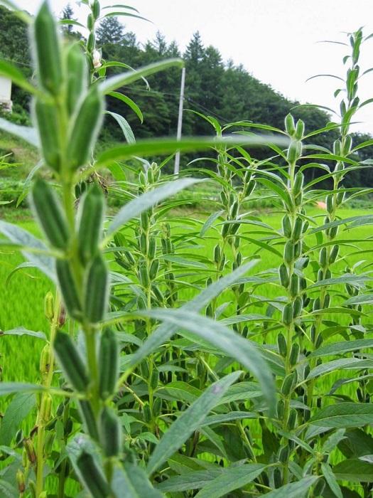Древняя культура однолетнего высокомасличного растения из семейства кунжутовых.