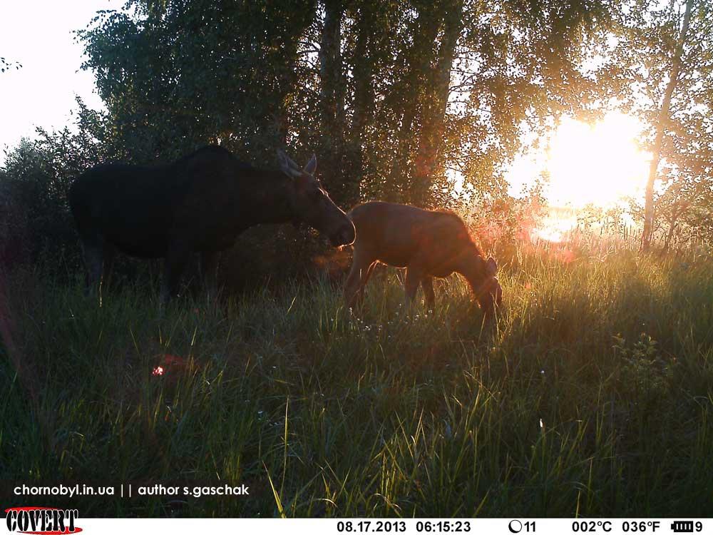 Животный мир в Чернобыльской зоне отчуждения дикая природа, животные, чернобыль
