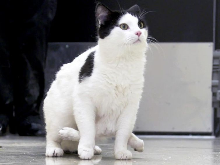Девять жизней и шесть лап: кошка Поли, которая родилась с шестью лапами