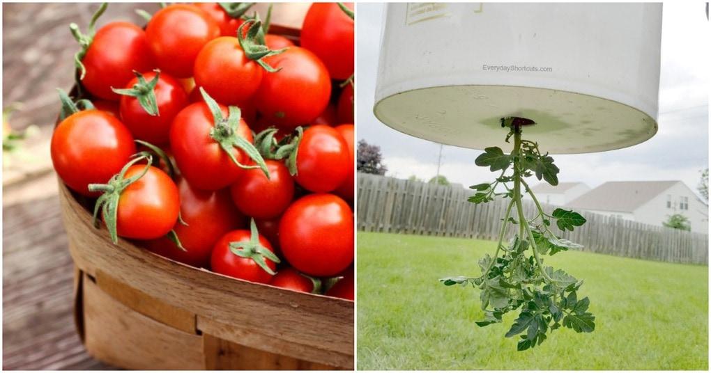 Лучшее решение для маленького огорода: помидоры в ведре