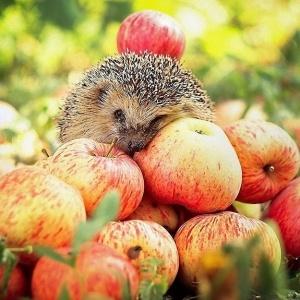 Как правильно собрать яблоки, чтобы долго хранились