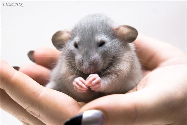 Прикольные фото смеющейся мыши крысы фото 347-839