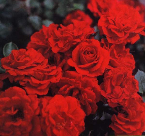 Миниатюрная роза сорт Zwergkonigen, фото сайта www.gardenroses.ru