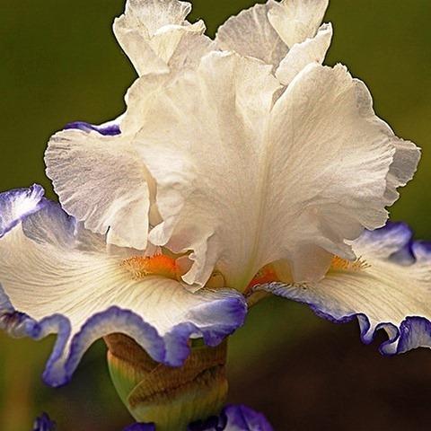 Iris23 (480x480, 65Kb)