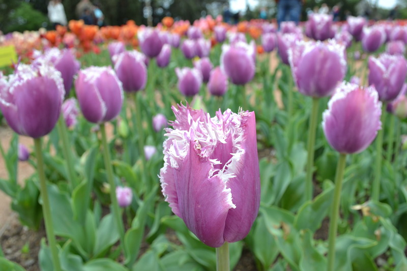 Краски тюльпанов Никитского ботанического сада