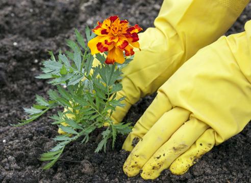 Как вырастить бархатцы.  Выращивание рассады тагетеса в домашних условиях