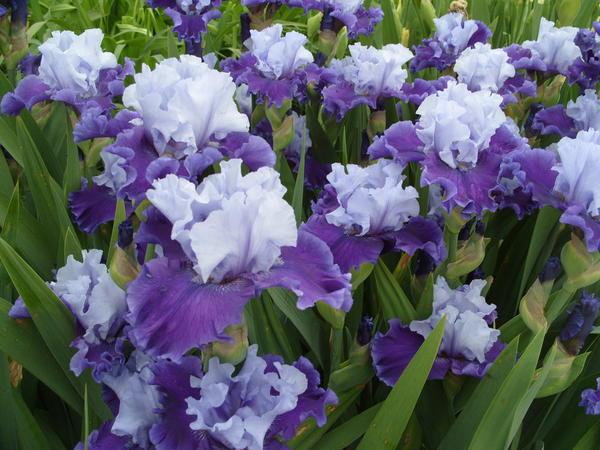 Цветет ирис сорт Got the Blues