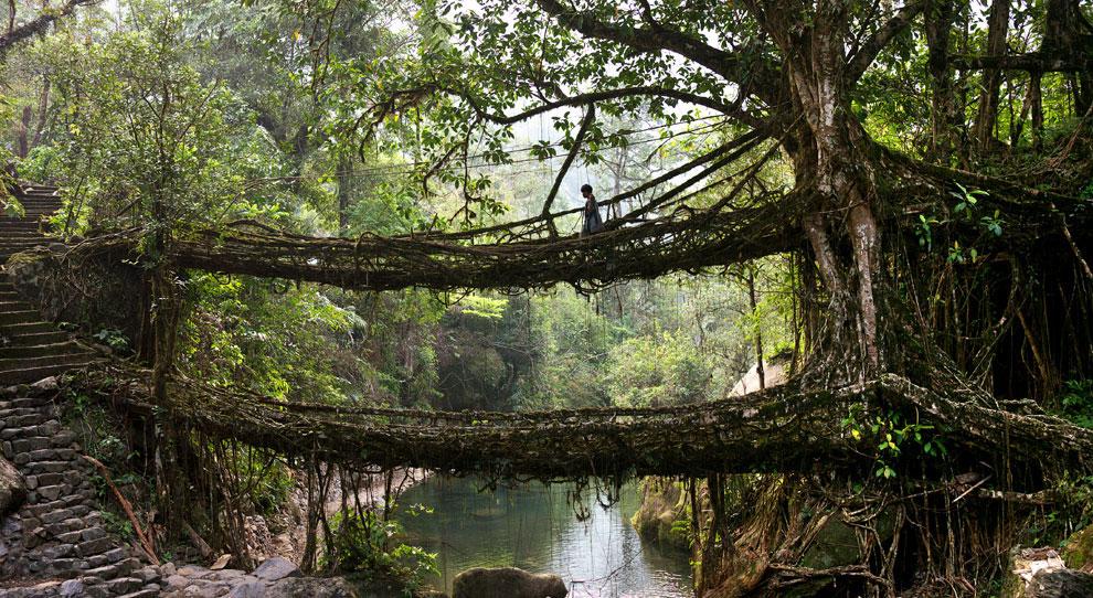 Растущие индийские мосты