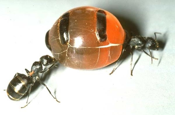 zhopa-muravya