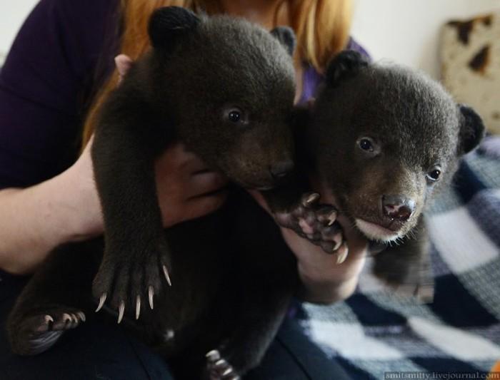Браконьеры подбросили хабаровским зоозащитникам гималайских медвежат браконьеры, зоозащита, медвежата