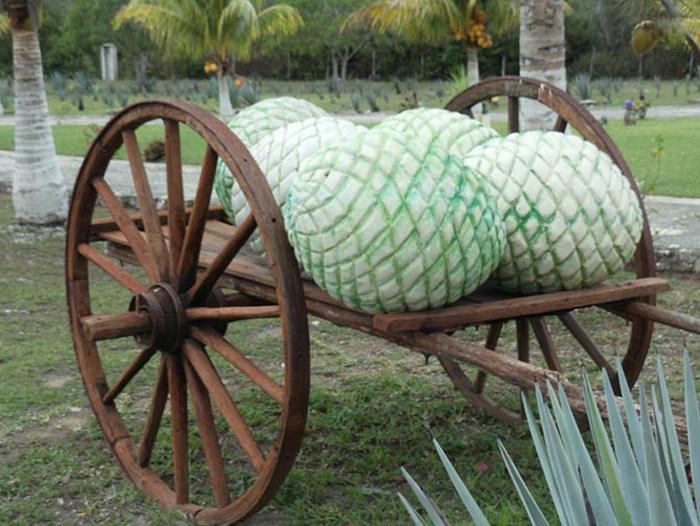Интересные факты о текиле (21 фото)