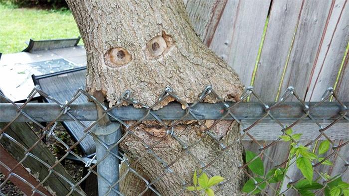 Вгрызлось в забор дерево, живучесть, жизнь, мир, планета, растительность, фото
