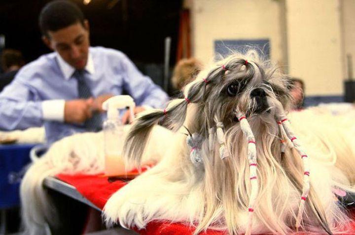 К выступлению готовы животные, коса