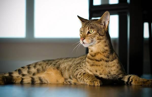 Кошка ашера, фото породы кошек фотография