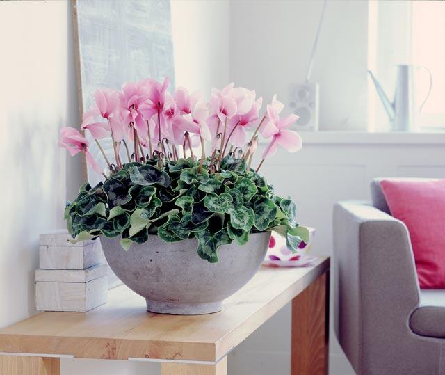 Как пересаживать цикламеном в домашних условиях