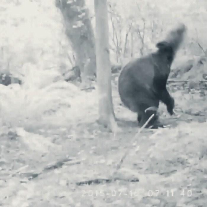 Медведь-наркоман насмешил по…