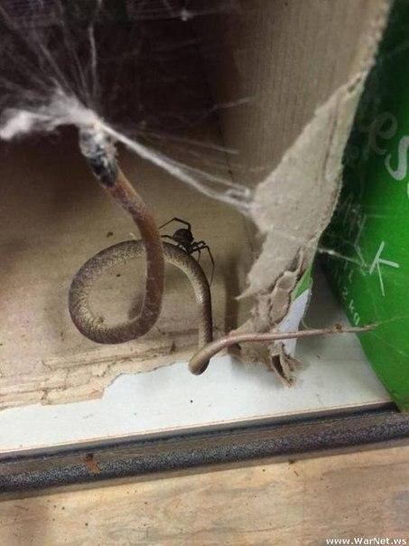 Австралийский паук решил побаловать себя змеиным мясом