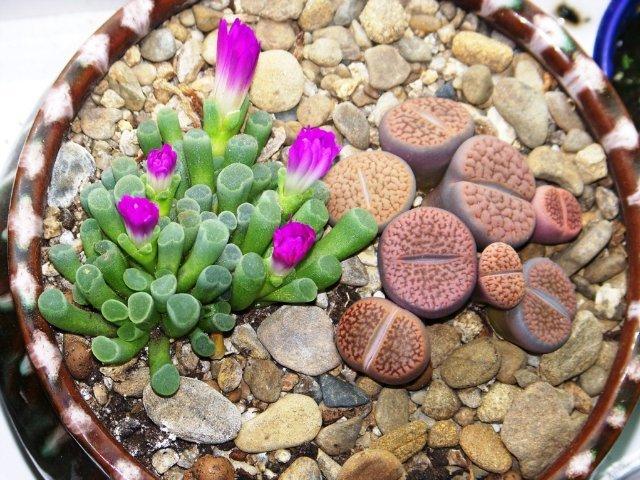 Живые камни (литопсы) в вашем саду