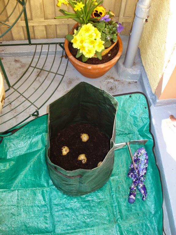 Выращиваем картошку в мешке (картофельное поле на балконе).