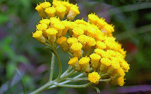 Растение бессмертник и его польза для человека