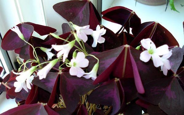 Цветок в виде бабочки фиолетового цвета