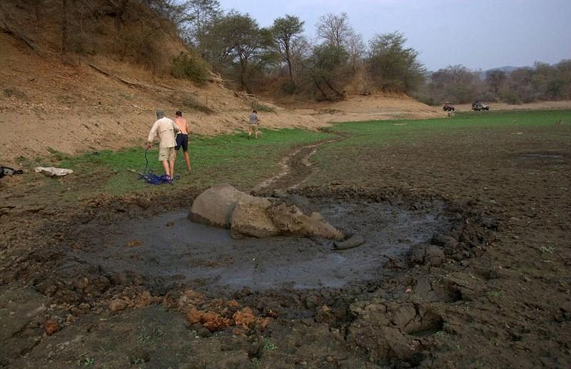 Невероятно! Этого слона вытаскивали из болота 6 часов и какова же была благодарность животного? Он чуть не убил своих спасателей!