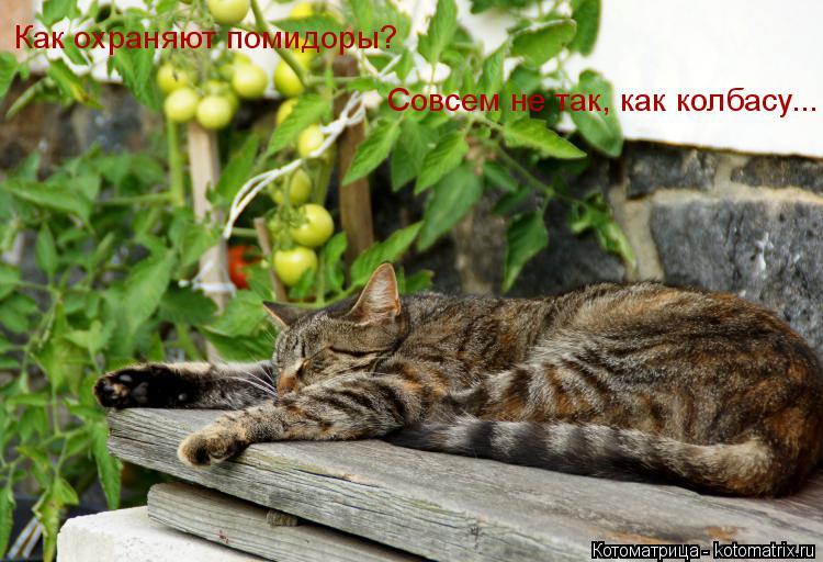 Котоматрица: Как охраняют помидоры? Совсем не так, как колбасу...