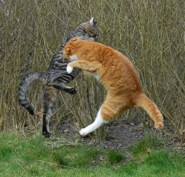 cat_flying_fight_17