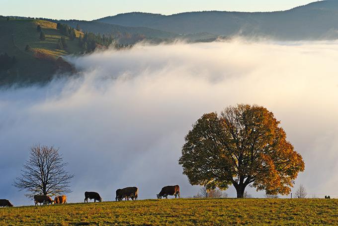 Коровы на лугу в Шварцвальде, Германия