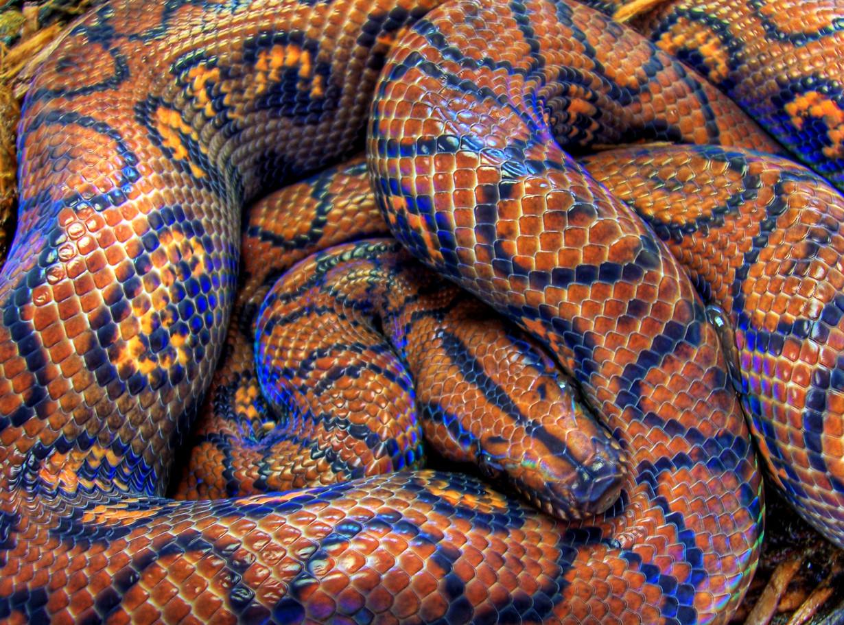 5. Радужный удав в мире, змея, красота