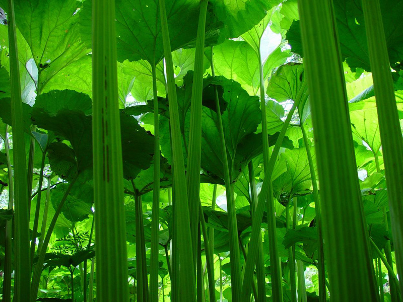 5. Сахалинская область - Салат из стеблей лопуха по-сахалински еда, калмыкия, россия